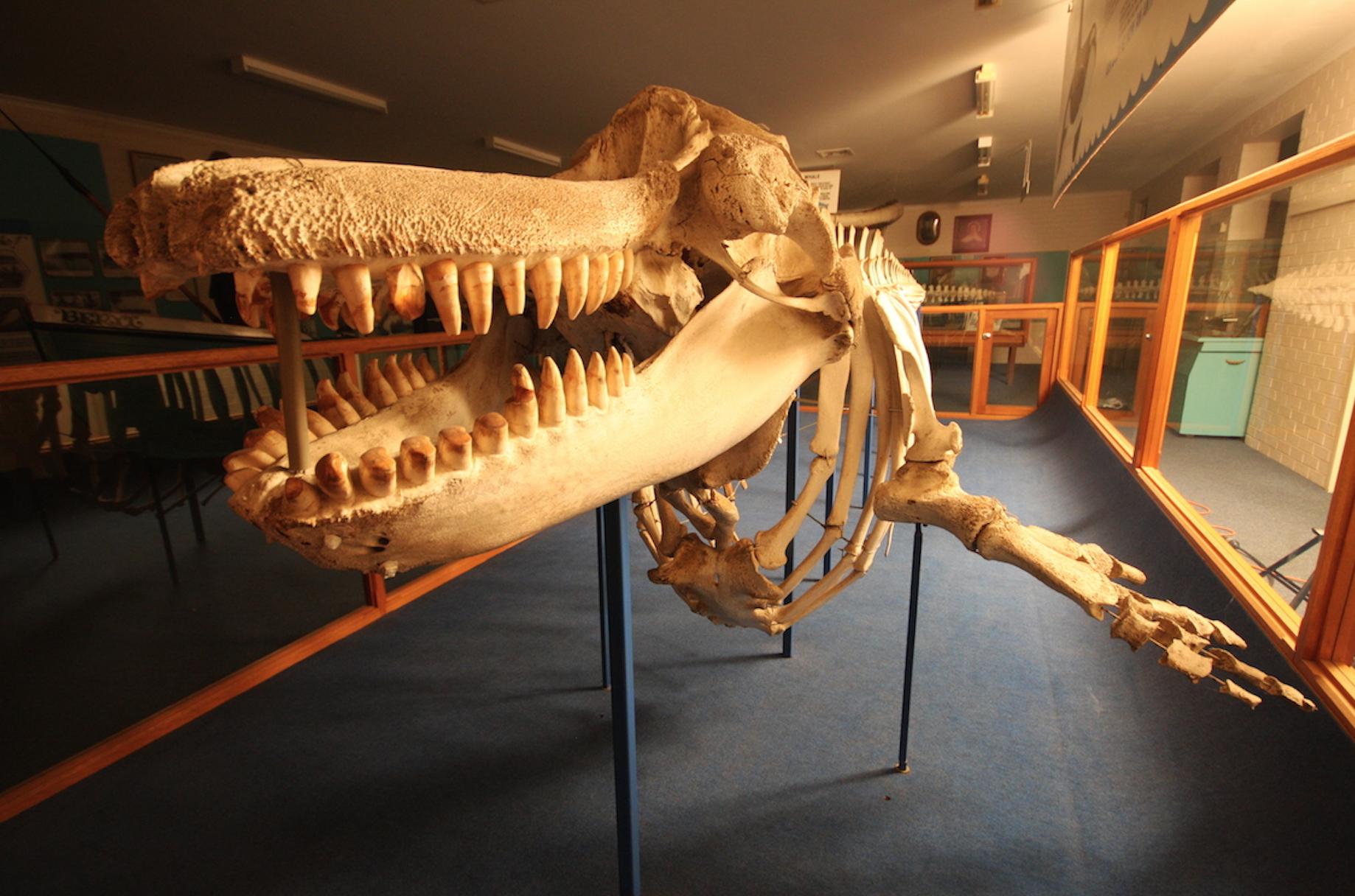 Official Festival Launch at the Eden Killer Whale Museum
